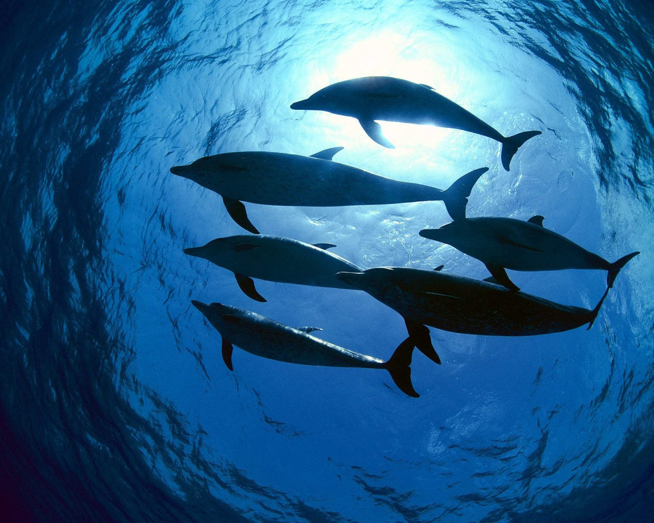 dolphins-swimming-wallpapers_10304_1280x1024